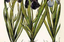 Kwiaty wydruk grafika reprint Irys vintage
