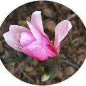 magnolia-dzierg