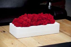 Chrobotek reniferowy w białej donicy - Red