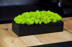 Chrobotek reniferowy w czarnej donicy-Spring