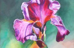 Irys różowo-fioletowy Silk