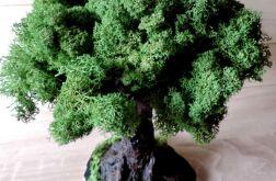 Eko drzewo - tylko natura- mech chrobotek
