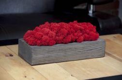 Chrobotek reniferowy, szara donica - Red