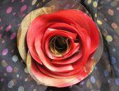 Róża Czerwonozłota