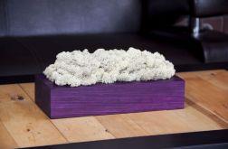 Chrobotek reniferowy w fioletowej donicy Biel