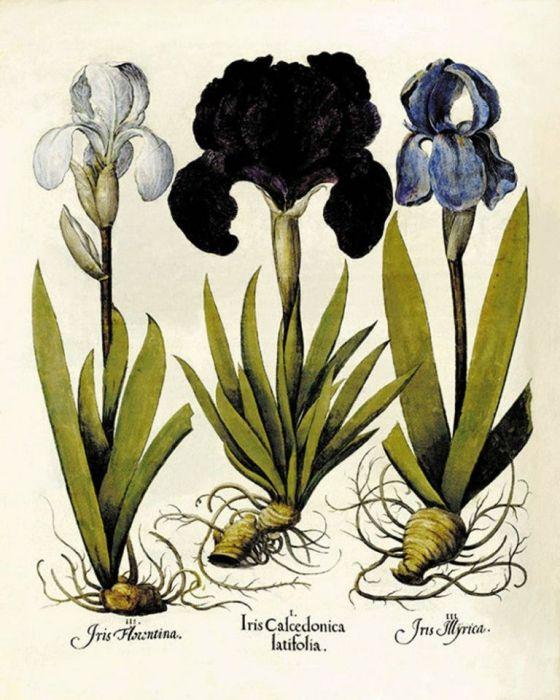 Kwiaty wydruk  grafika reprint vintage