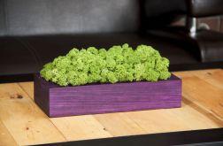 Chrobotek reniferowy, fioletowa donica Green