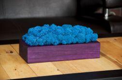 Chrobotek reniferowy w fioletowej donicy Blue