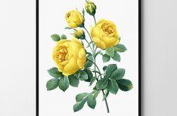 Plakat obraz róża 50X70 B2