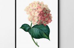 Plakat obraz różowa Hortensja 50X70 B2