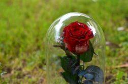 Wieczna róża w szklanej kopule 24cm z mchem.