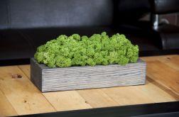 Chrobotek reniferowy, szara donica - Green