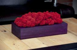 Chrobotek reniferowy, fioletowa donica - Red