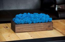 Chrobotek reniferowy, orzechowa donica - Blue