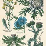 Kwiaty zioła wydruk grafika wydruk vintage -