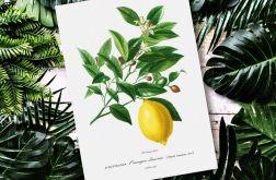Plakat Cytryna kuchnia 50X70 B2