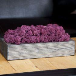 Chrobotek reniferowy, szara donica - Burgund