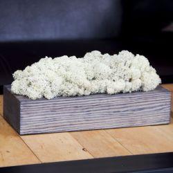 Chrobotek reniferowy, szara donica - White