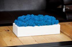 Chrobotek reniferowy w białej donicy - Blue