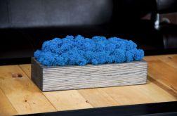 Chrobotek reniferowy, szara donica - Blue