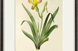 Zioła Kwiaty wydruk grafika reprint vintage