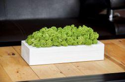 Chrobotek reniferowy w białej donicy - Green