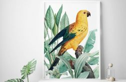 Plakat papuga złota 50X70 B2
