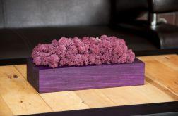 Chrobotek reniferowy, fioletowa donica Rubin